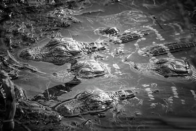 Baby Alligators Nap Time Poster