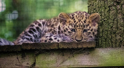 Baby Amur Leopard Poster by Martin Newman