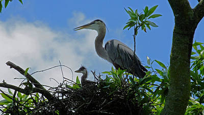 Baby And Mom Great Blue Heron Poster by Judy Wanamaker