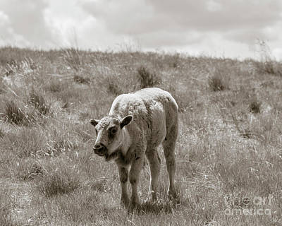 Poster featuring the photograph Baby Buffalo In Field With Sky by Rebecca Margraf