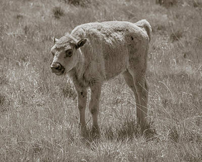Poster featuring the photograph Baby Buffalo by Rebecca Margraf