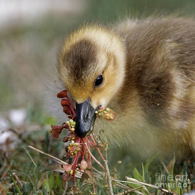 Baby Chick With Water Flowers Poster
