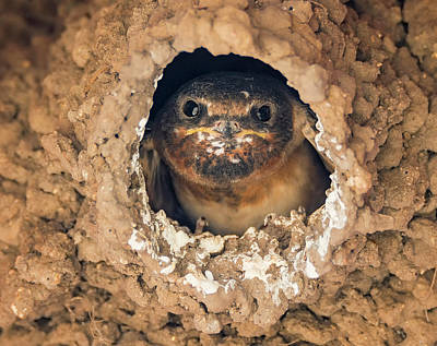 Baby Cliff Swallow Poster by Loree Johnson