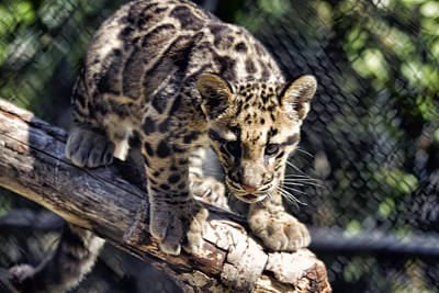 Baby Clouded Leopard Poster