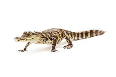 Baby Crocodile Walking Forward Poster by Susan Schmitz