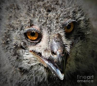 Baby Eagle Owl Poster by Paulette Thomas