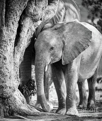 Baby Elephant In Africa Black And White Poster