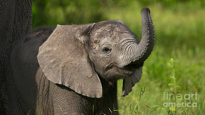 Baby Elephant Smelling Poster