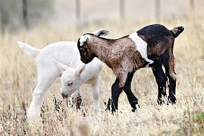 Baby Goats Painting Poster