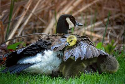 Baby Goose Under Mom's Wing Poster by Henry Kowalski