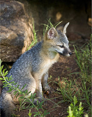 Baby Gray Fox Resting On Bluff Side Poster