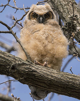 Poster featuring the photograph Baby Great Horned Owl by Stephen Flint