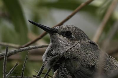 Baby Humming Bird Poster