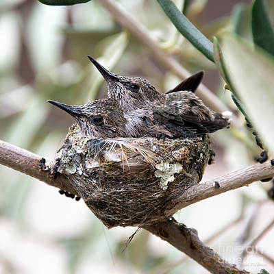 Baby Hummingbirds Outgrowing Their Nest Poster