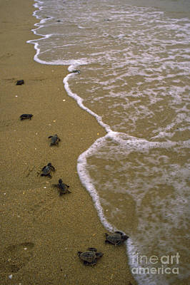 Baby Loggerhead Turtles Head Poster by Mark D. Phillips