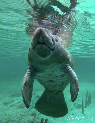 Baby Manatee Poster