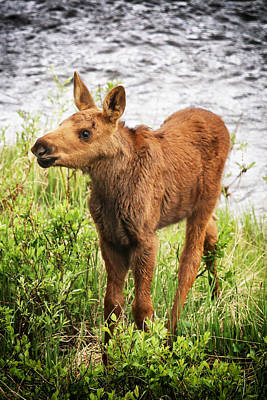 Baby Moose Poster