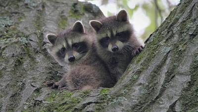 Baby Raccoons In A Tree Poster