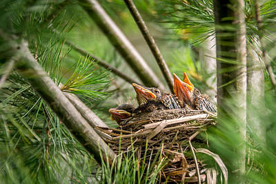 Baby Robins In Summer Poster by Michael Bowen