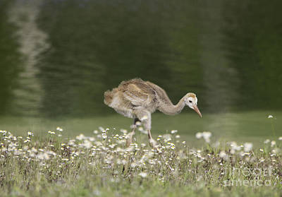Baby Sandhill Crane Walking Through Wildflowers Poster