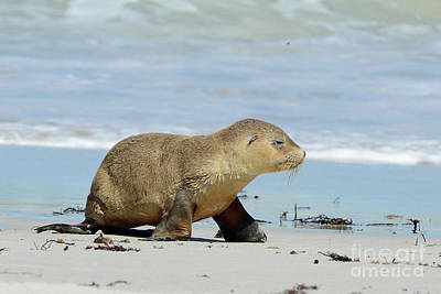 Baby Sea Lion On Seals Bay Poster