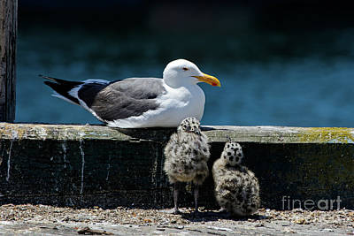 Baby Western Gulls With Mom Poster
