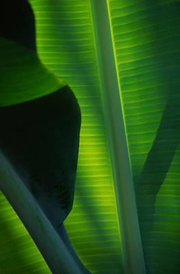 Backlit Banana Leaves Poster