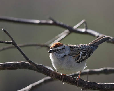Poster featuring the photograph Backlit Chipping Sparrow by Susan Capuano