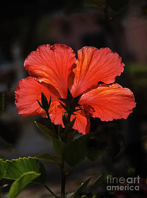 Poster featuring the photograph Backlit Hibiscus by Robert Bales