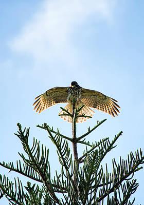 Backlit Landing Hawk Poster
