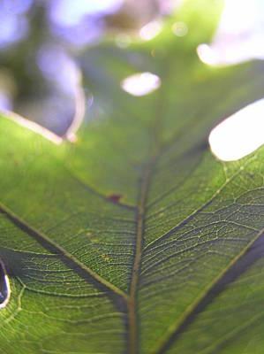 Backlit Leaf Poster