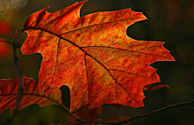 Poster featuring the photograph Backlit Leaf by Shari Jardina