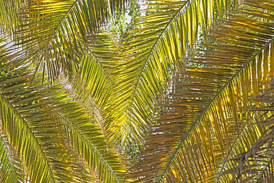 Backlit Palm Leaves Mendoza Argentina Poster