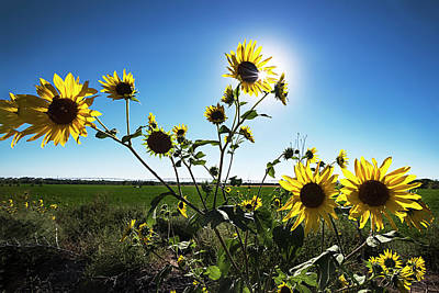 Poster featuring the photograph Backlit Sunflower 1 by Dave Dilli