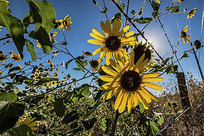 Poster featuring the photograph Backlit Sunflower 3 by Dave Dilli