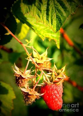 Backyard Garden Series - One Ripe Raspberry Poster by Carol Groenen