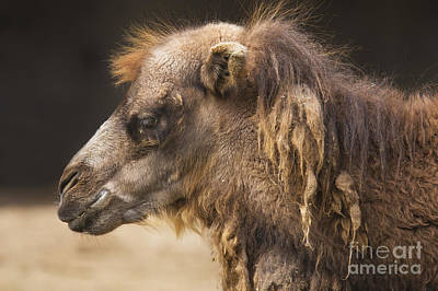 Bactrian Camel Poster by Twenty Two North Photography