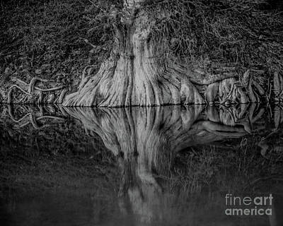 Bald Cypress Reflection In Black And White Poster