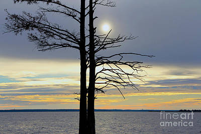 Bald Cypress Silhouette Poster