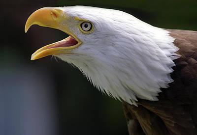 Bald Eagle - Pygargue Poster