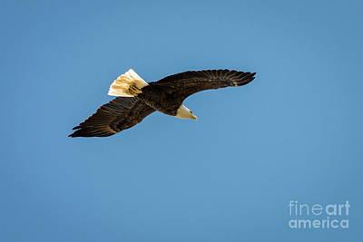 Bald Eagle 5 Poster