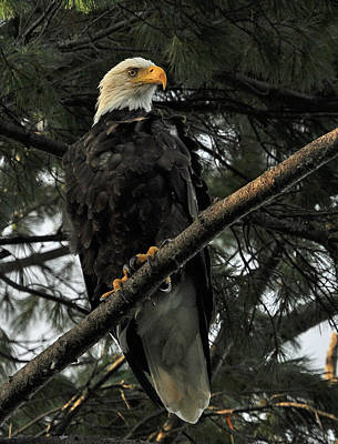 Poster featuring the photograph Bald Eagle by Glenn Gordon