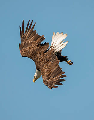 Bald Eagle Dive Poster