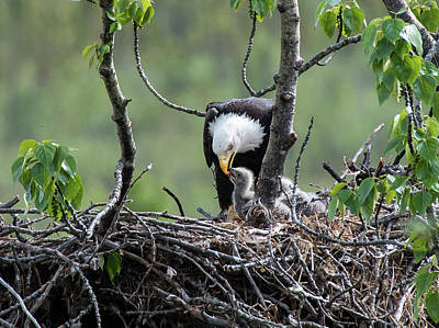 Bald Eagle Feeding Its Chick Poster by Rocky Grimes
