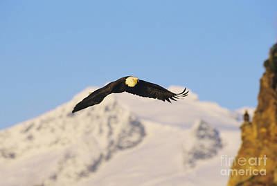 Bald Eagle Flying In Alaska Poster