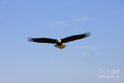 Bald Eagle Flying Poster