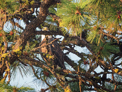 Bald Eagle Hide And Seek Poster