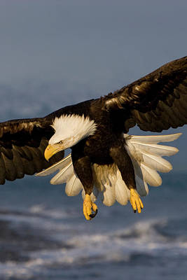 Bald Eagle In Action Poster