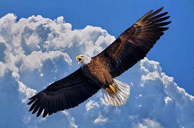 Bald Eagle In Flight Calling Out Poster