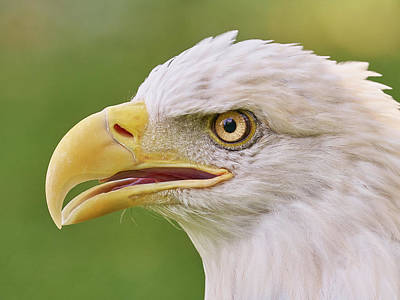Bald Eagle In Profile Poster